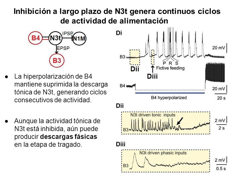 Inhibición a largo plazo de N3t genera continuos ciclos de actividad de alimentación
