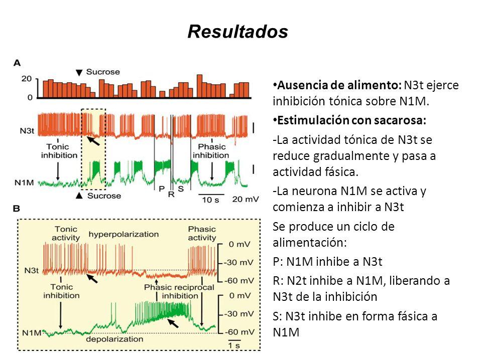 Resultados Ausencia de alimento: N3t ejerce inhibición tónica sobre N1M. Estimulación con sacarosa: