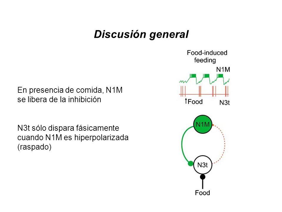 Discusión general En presencia de comida, N1M se libera de la inhibición. N3t sólo dispara fásicamente cuando N1M es hiperpolarizada (raspado)