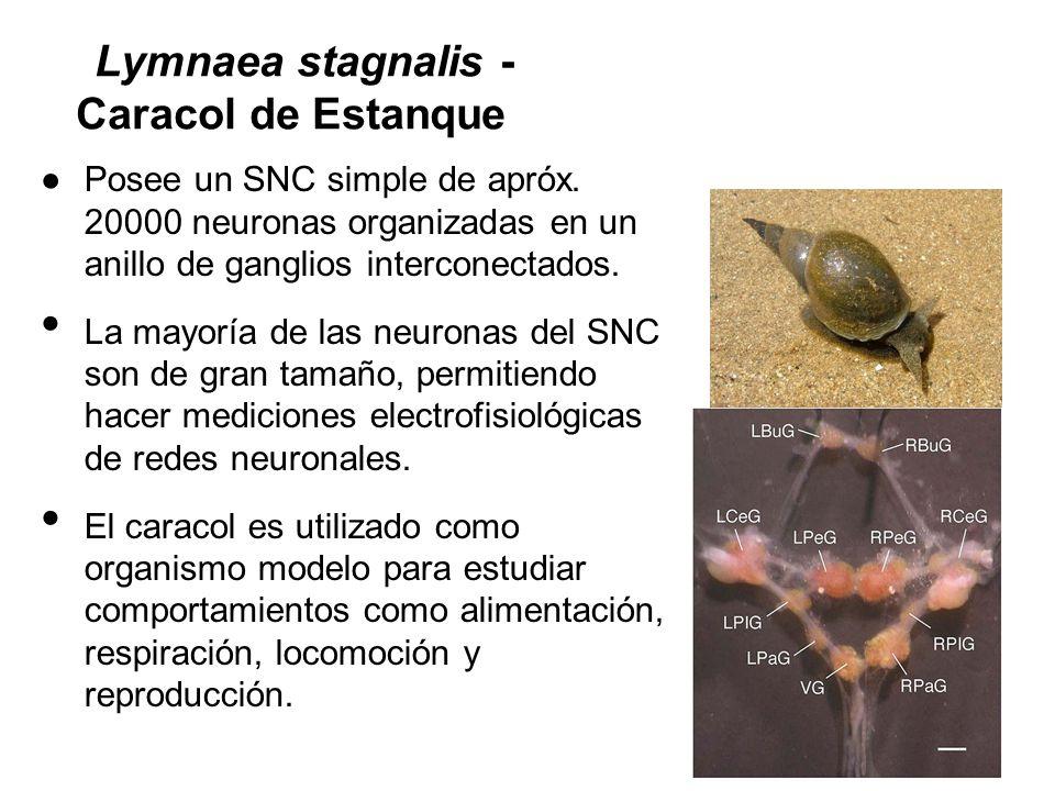 Lymnaea stagnalis - Caracol de Estanque