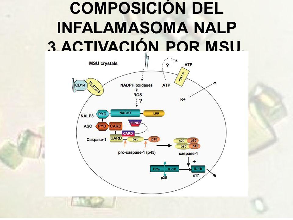 COMPOSICIÓN DEL INFALAMASOMA NALP 3.ACTIVACIÓN POR MSU.