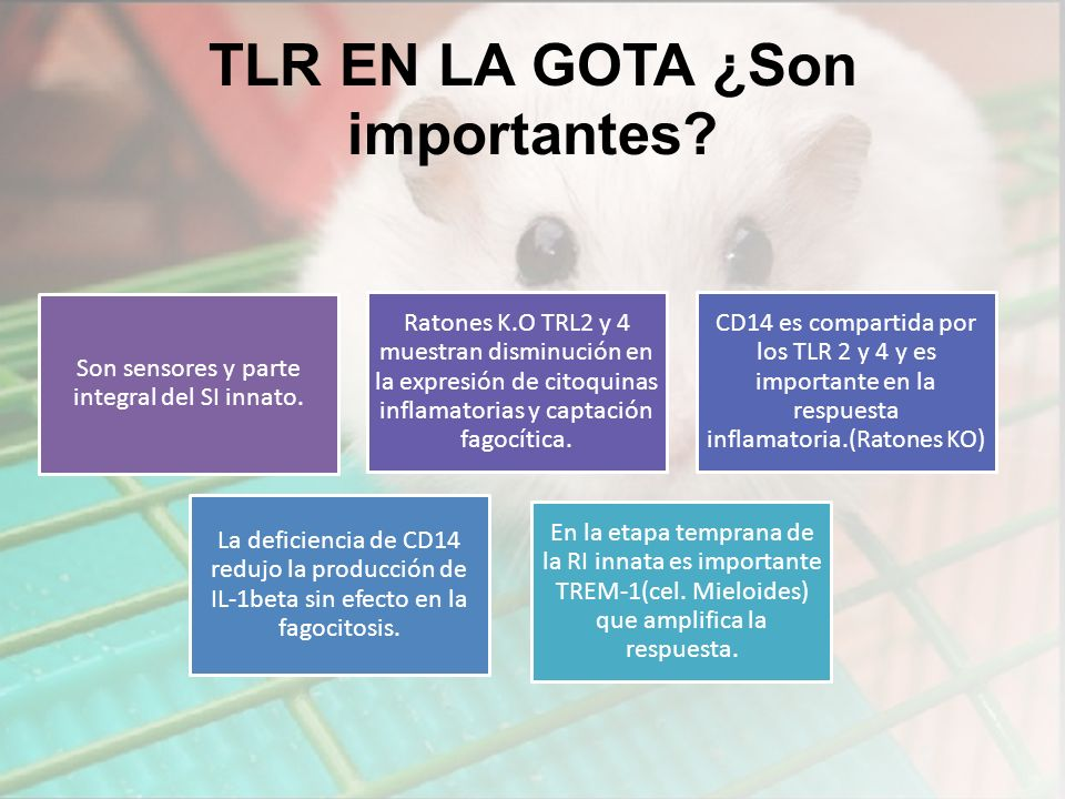 TLR EN LA GOTA ¿Son importantes