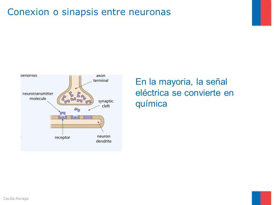 Conexion o sinapsis entre neuronas