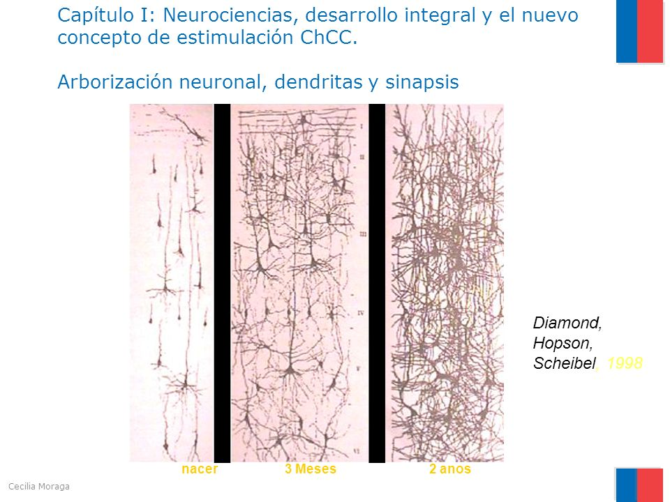 Capítulo I: Neurociencias, desarrollo integral y el nuevo concepto de estimulación ChCC. Arborización neuronal, dendritas y sinapsis