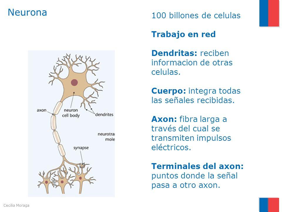 Neurona 100 billones de celulas Trabajo en red Dendritas: reciben informacion de otras celulas. Cuerpo: integra todas las señales recibidas.