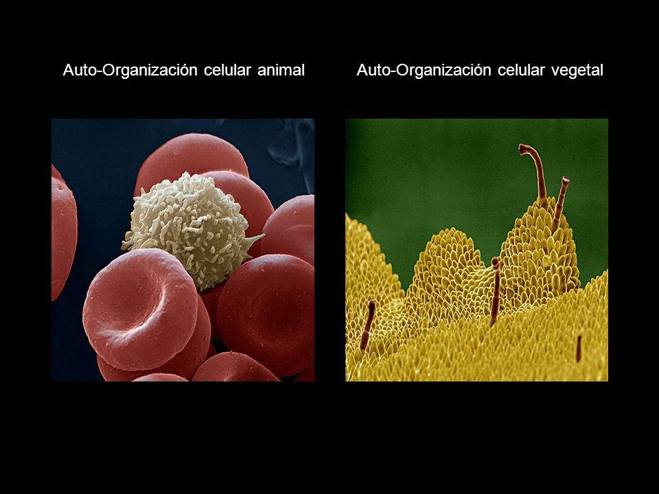 Auto-Organización celular animal