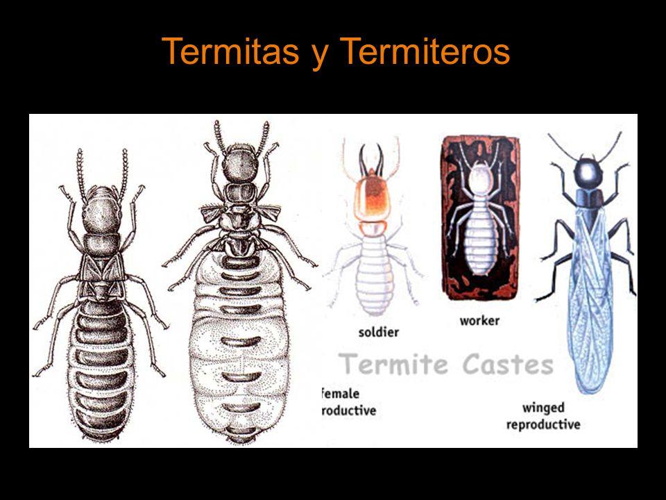 Termitas y Termiteros
