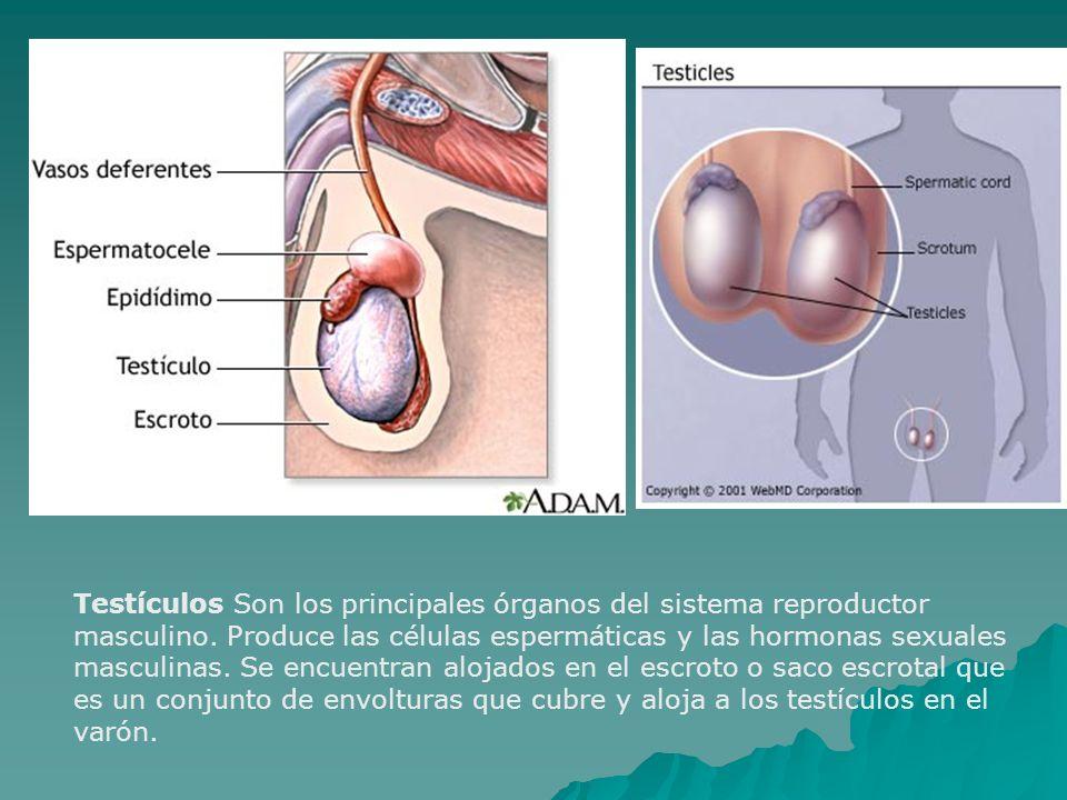 Testículos Son los principales órganos del sistema reproductor masculino.