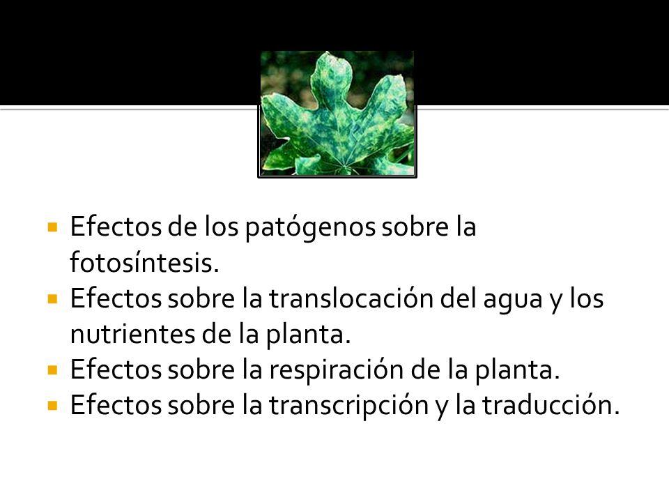 Efectos de los patógenos sobre la fotosíntesis.