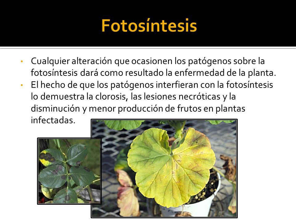 Fotosíntesis Cualquier alteración que ocasionen los patógenos sobre la fotosíntesis dará como resultado la enfermedad de la planta.