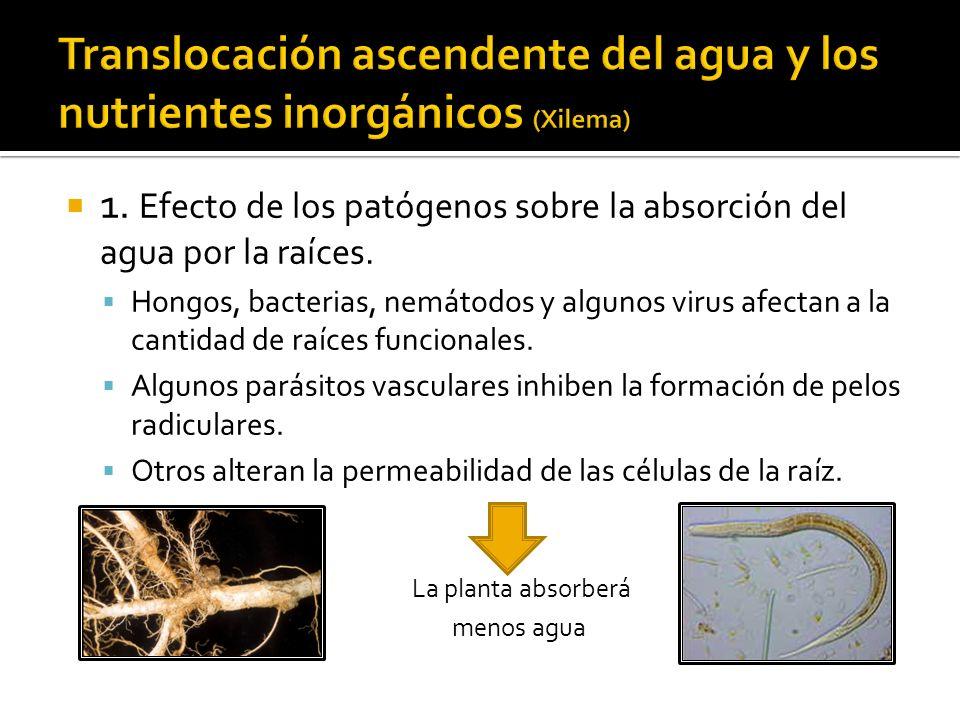 Translocación ascendente del agua y los nutrientes inorgánicos (Xilema)