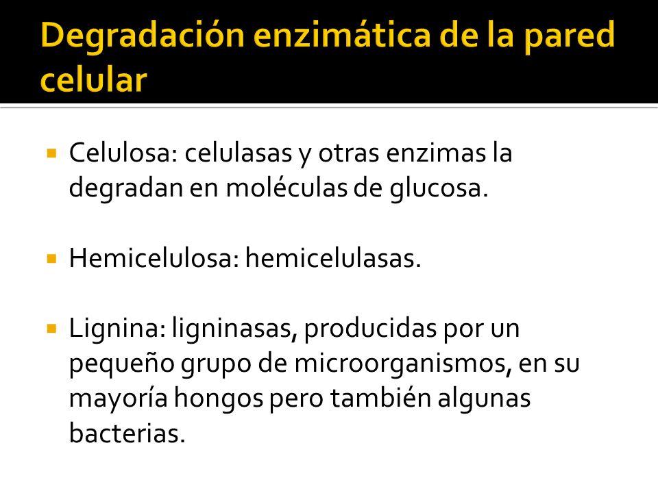 Degradación enzimática de la pared celular