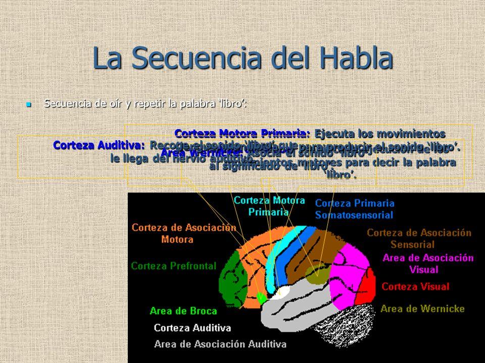 Área Wernicke: Asocia el sonido 'libro' al significado de 'libro'.