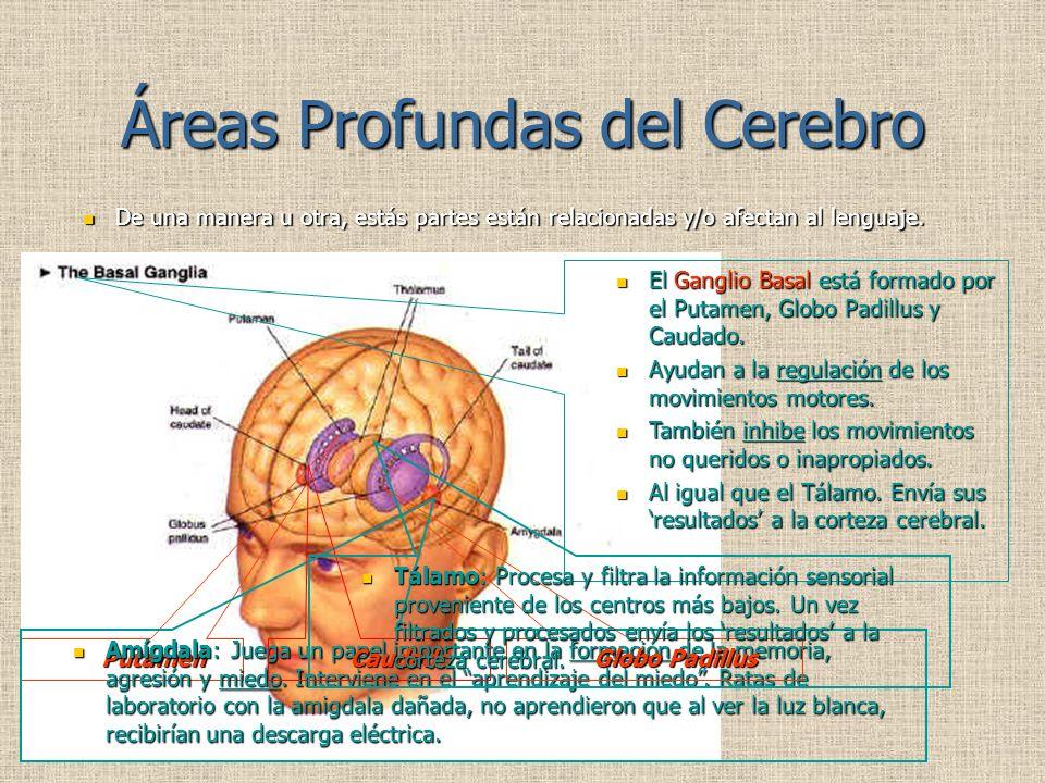 Áreas Profundas del Cerebro