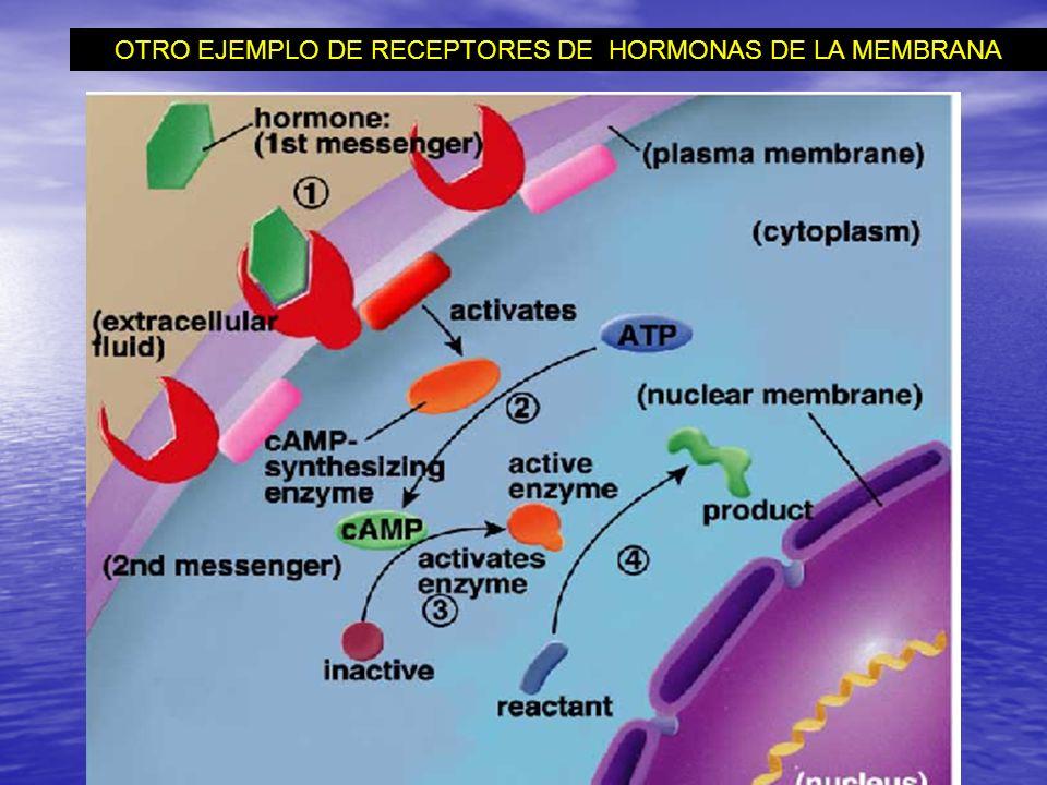 OTRO EJEMPLO DE RECEPTORES DE HORMONAS DE LA MEMBRANA