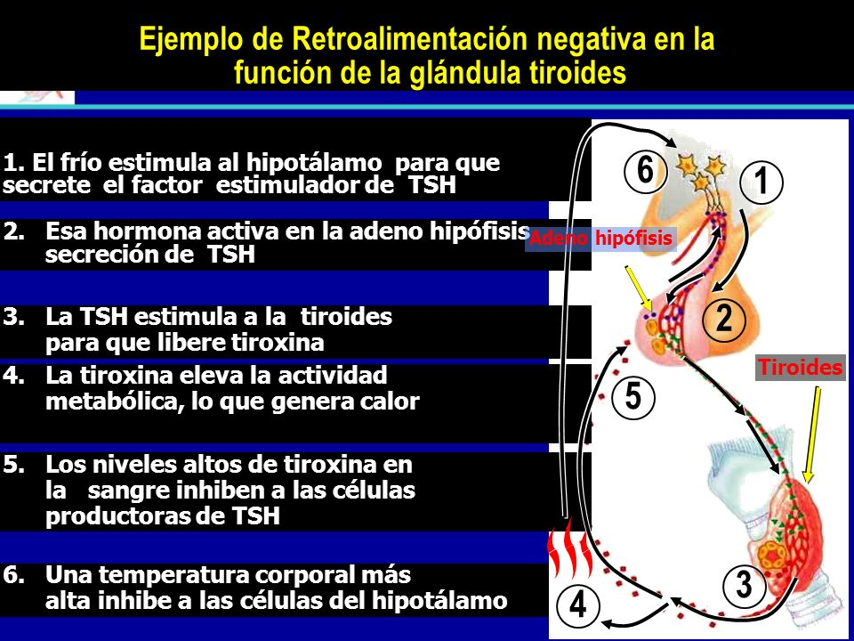 Ejemplo de Retroalimentación negativa en la función de la glándula tiroides