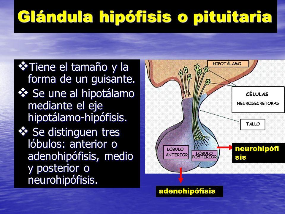 Glándula hipófisis o pituitaria