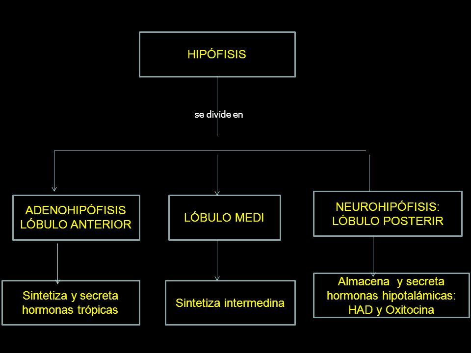 Almacena y secreta hormonas hipotalámicas: HAD y Oxitocina