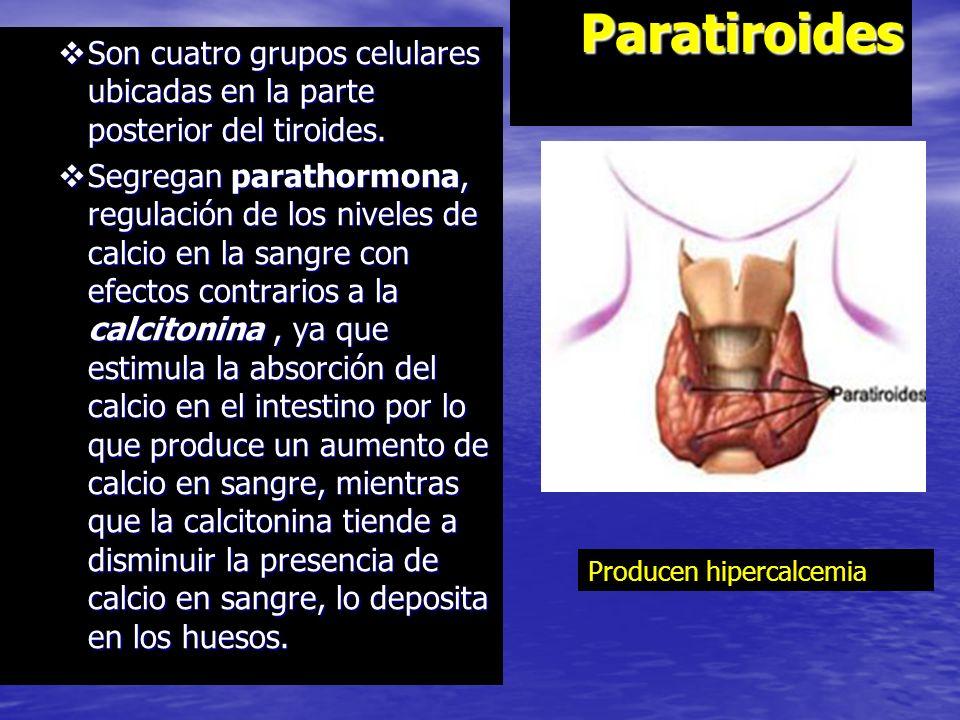 Paratiroides Son cuatro grupos celulares ubicadas en la parte posterior del tiroides.