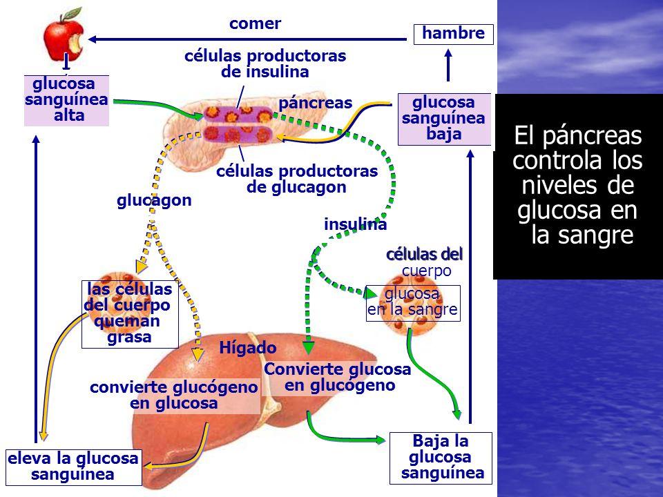 El páncreas controla los niveles de glucosa en la sangre
