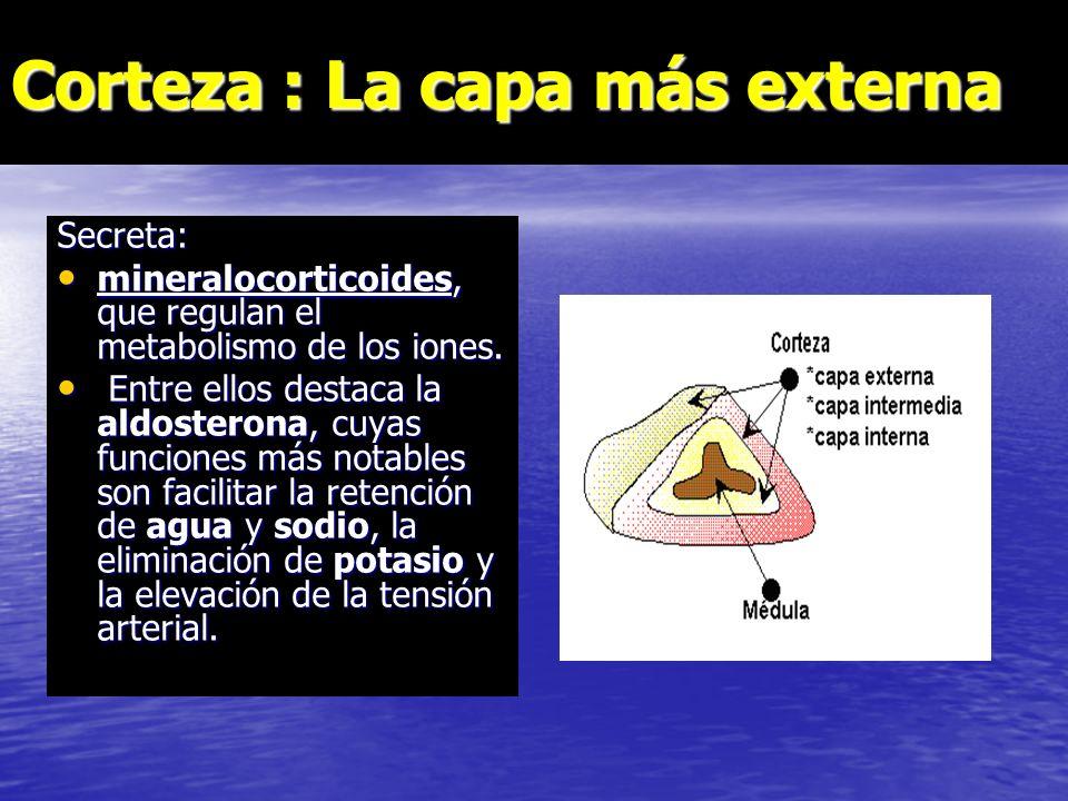 Corteza : La capa más externa