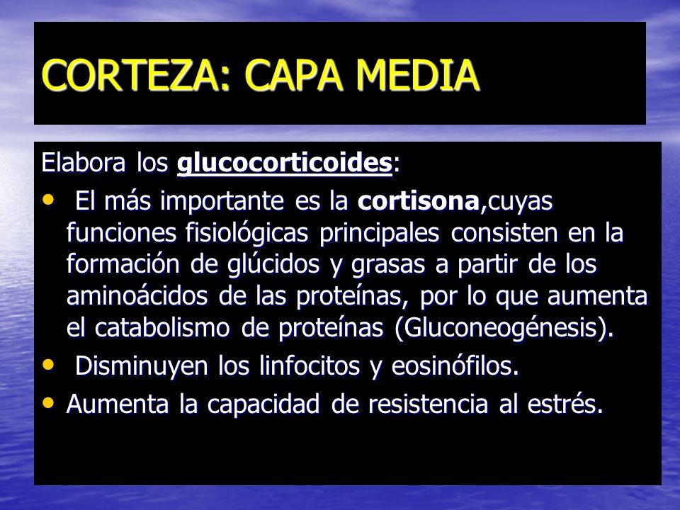 CORTEZA: CAPA MEDIA Elabora los glucocorticoides:
