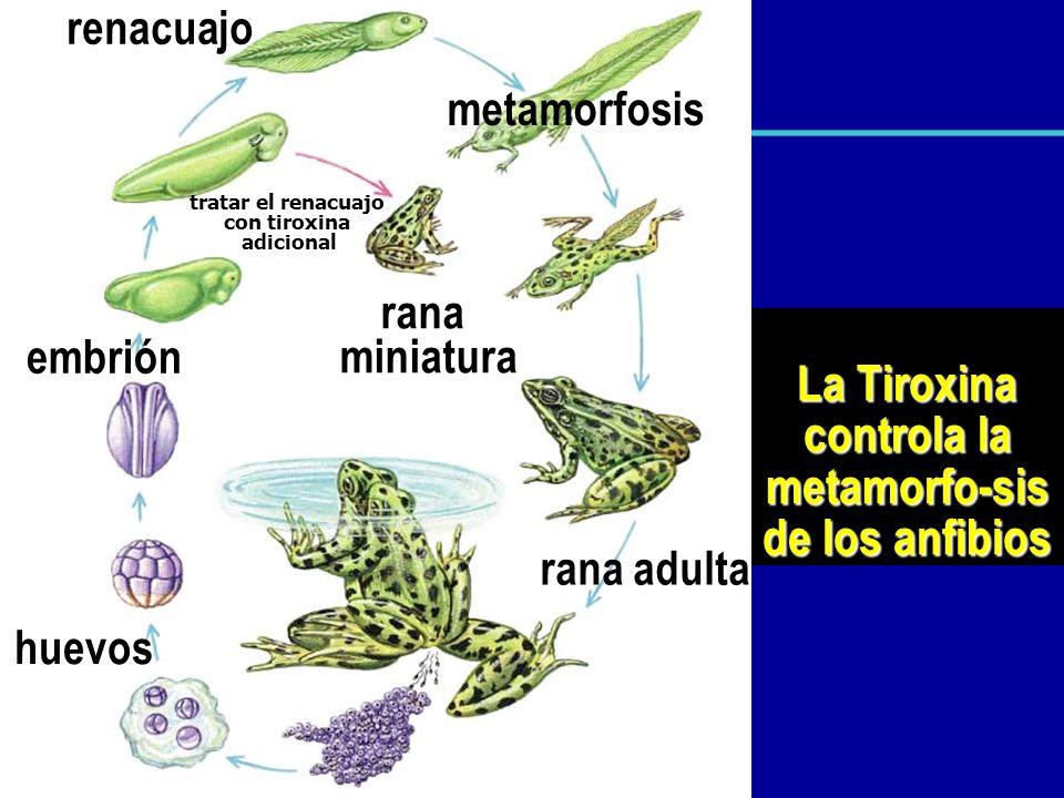 La Tiroxina controla la metamorfo-sis de los anfibios