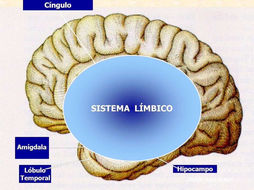 SISTEMA LÍMBICO Cíngulo Amígdala Lóbulo Hipocampo Temporal