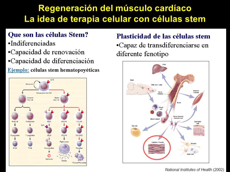 Regeneración del músculo cardíaco