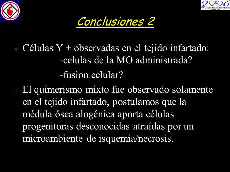 Conclusiones 2 Células Y + observadas en el tejido infartado: -celulas de la MO administrada