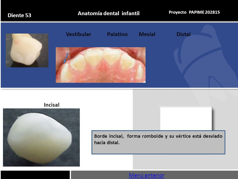 Único Ppt Anatomía Dental Imágenes - Imágenes de Anatomía Humana ...