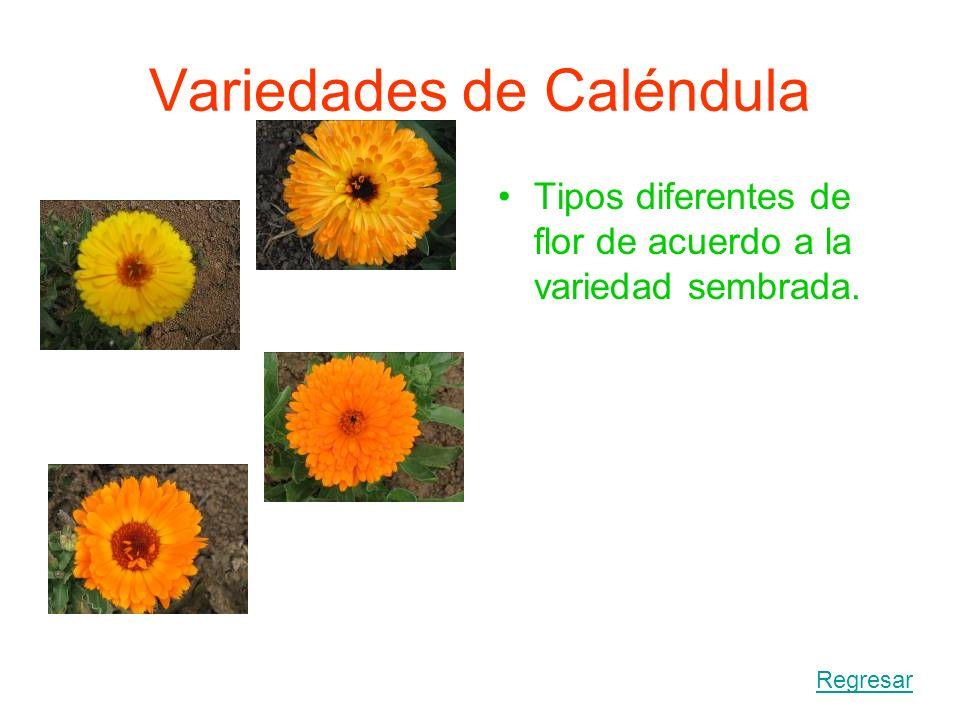 Variedades de Caléndula
