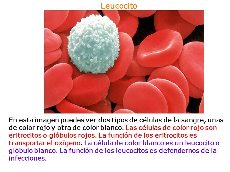Leucocito