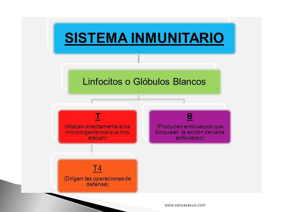 SISTEMA INMUNITARIO Linfocitos o Glóbulos Blancos T B T4