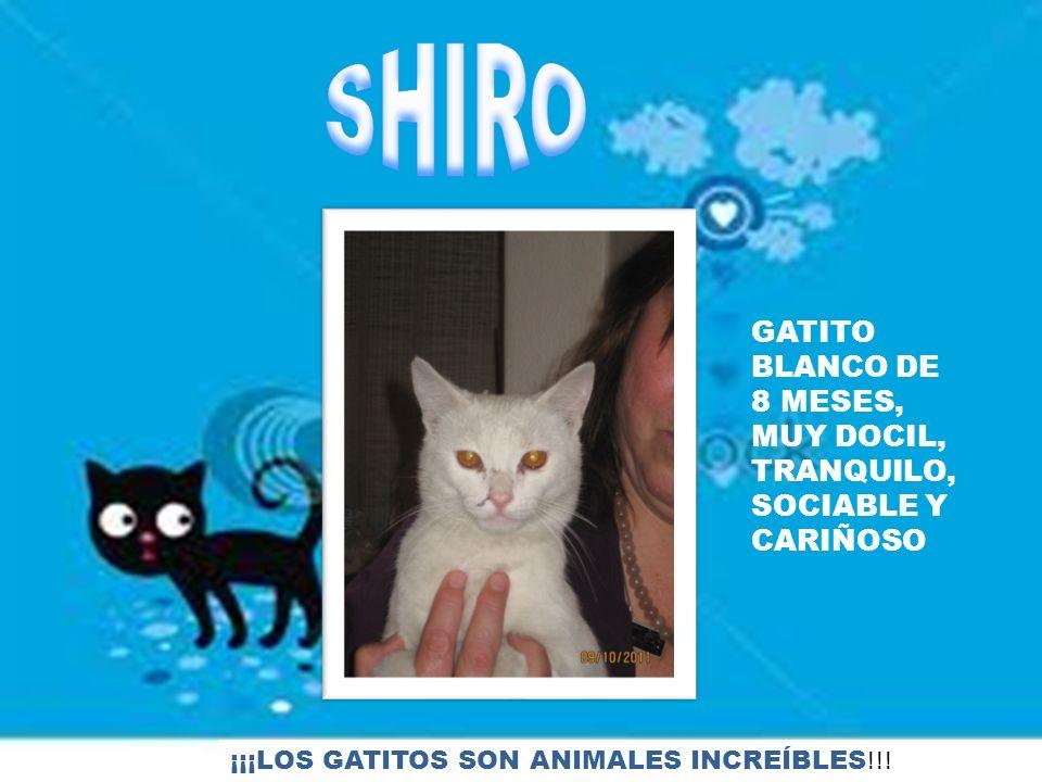 SHIRO GATITO BLANCO DE 8 MESES, MUY DOCIL, TRANQUILO, SOCIABLE Y CARIÑOSO.