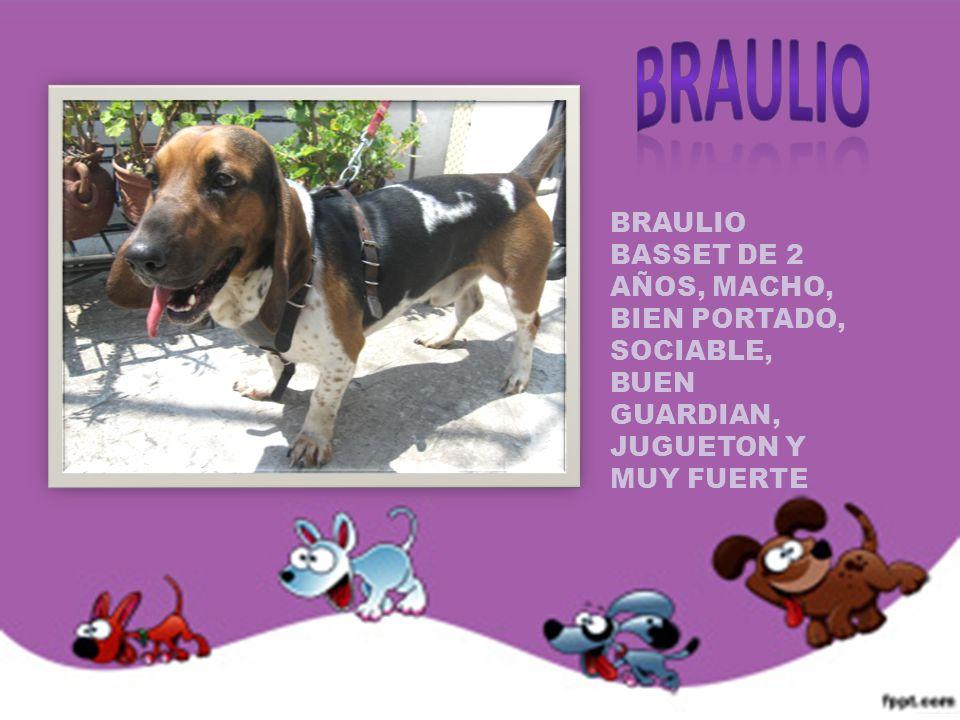BRAULIO BRAULIO BASSET DE 2 AÑOS, MACHO, BIEN PORTADO, SOCIABLE, BUEN GUARDIAN, JUGUETON Y MUY FUERTE.