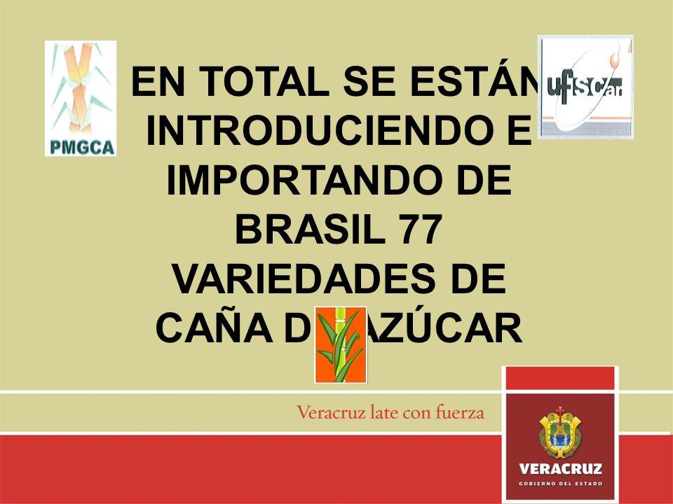 EN TOTAL SE ESTÁN INTRODUCIENDO E IMPORTANDO DE BRASIL 77 VARIEDADES DE CAÑA DE AZÚCAR