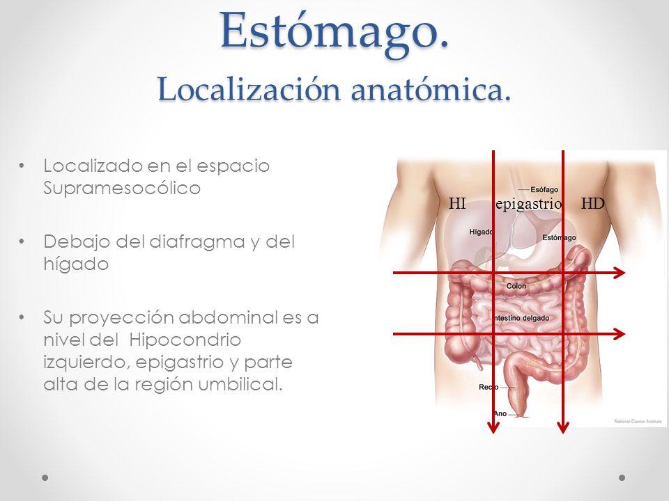Bonito Ubicación Estómago Anatomía Ideas - Anatomía de Las ...