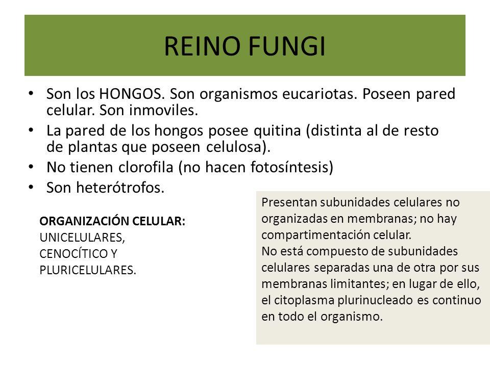 REINO FUNGI Son los HONGOS. Son organismos eucariotas. Poseen pared celular. Son inmoviles.