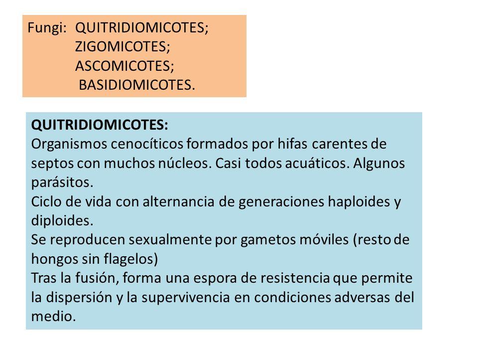 Fungi: QUITRIDIOMICOTES; ZIGOMICOTES;