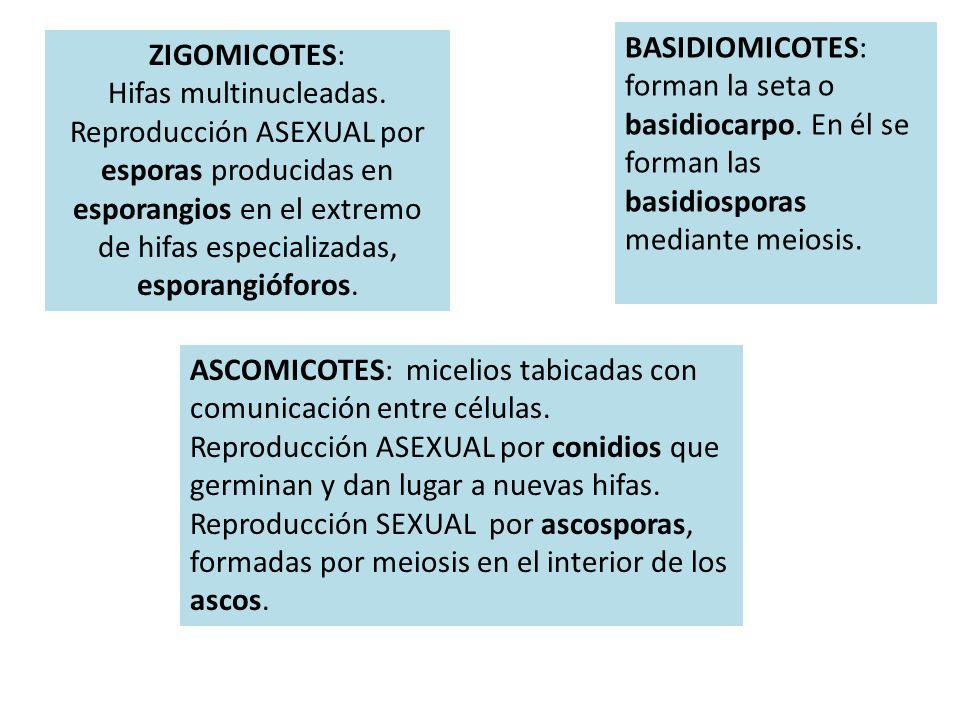 BASIDIOMICOTES: forman la seta o basidiocarpo