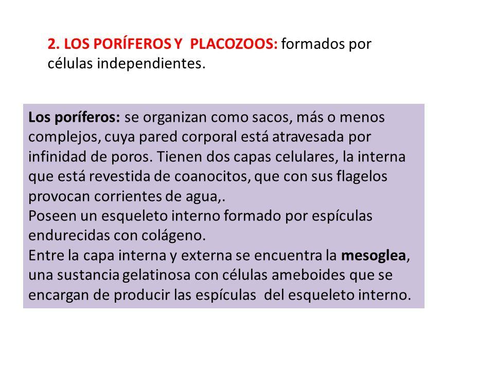 2. LOS PORÍFEROS Y PLACOZOOS: formados por células independientes.
