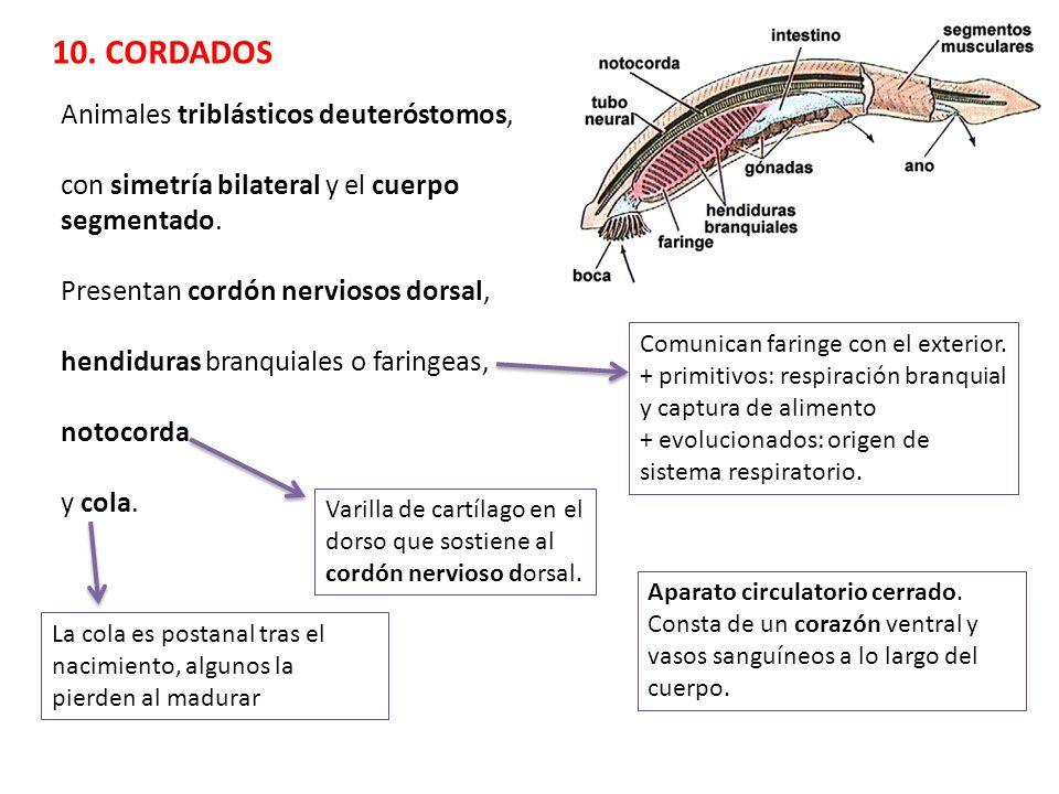 10. CORDADOS Animales triblásticos deuteróstomos,