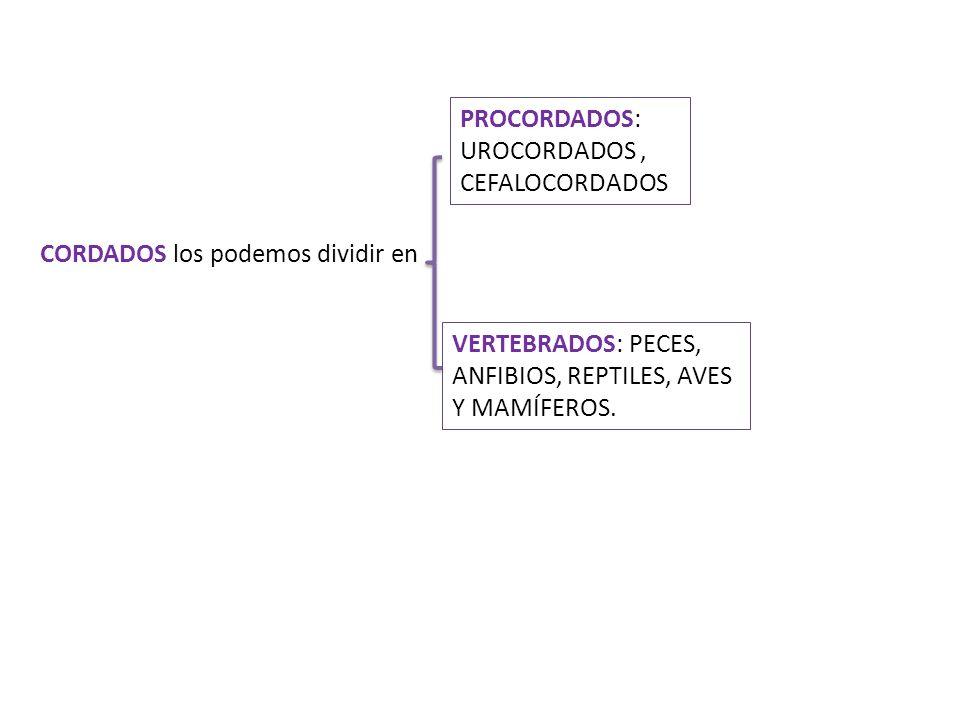 PROCORDADOS: UROCORDADOS , CEFALOCORDADOS