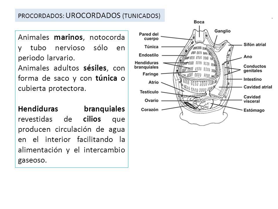Animales marinos, notocorda y tubo nervioso sólo en periodo larvario.