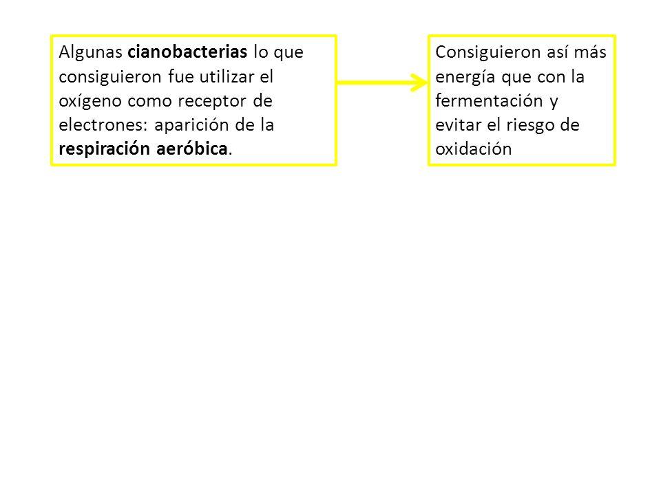 Algunas cianobacterias lo que consiguieron fue utilizar el oxígeno como receptor de electrones: aparición de la respiración aeróbica.