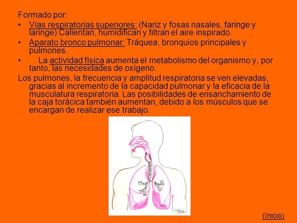 Aparato bronco pulmonar: Tráquea, bronquios principales y pulmones.