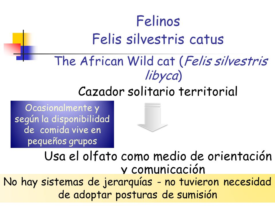 The African Wild cat (Felis silvestris libyca)