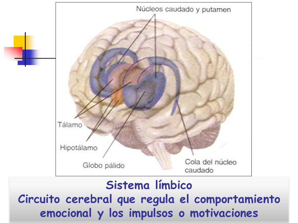 Sistema límbico Circuito cerebral que regula el comportamiento emocional y los impulsos o motivaciones.