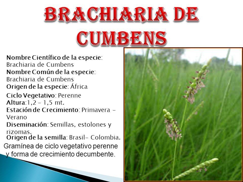 BRACHIARIA DE CUMBENS Nombre Científico de la especie: Brachiaria de Cumbens. Nombre Común de la especie: Brachiaria de Cumbens.